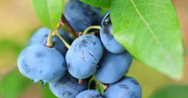 Research: Radiotherapy Causes Cancer, Blueberry Kills It